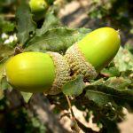 acorns-1440268_960_720